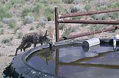 Coyote drinking from tire tank.