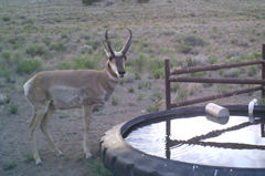 Pronghorn buck by tire tank.