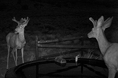 Young deer bucks with velvet by tire tank at night.