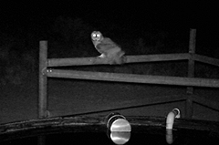 Owl perched on fencing to side of well at night.