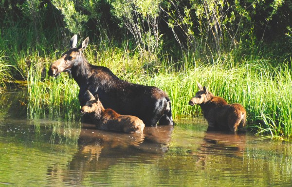 Female moose and two calves in lake