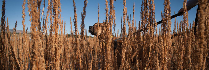 Dog in tall grasses