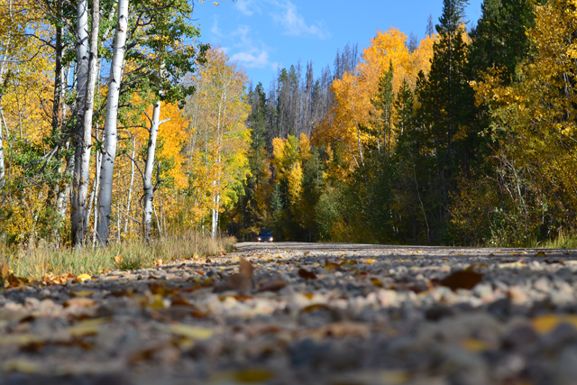 A fall car trip amongst colorful aspen trees.