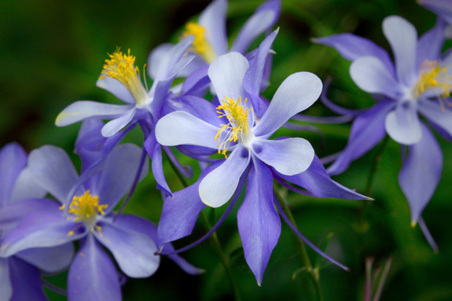 Columbines at Pearl Lake State Park.
