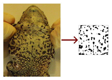 toad's bely next to sketched pattern of spots on belly