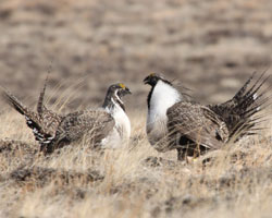 Female and Male Greater sage-grouse facing each other
