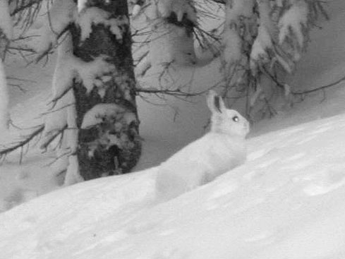 Snowshoe hare white phase