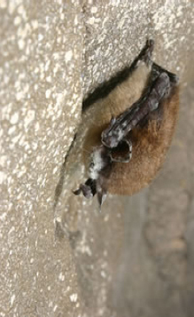 A bat afflicted with WNS. Please see the links to the left for more information.