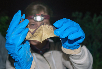 Female researcher examining bat wing in headlamp light