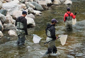 Researchers in waders with nets participating in a fish count.