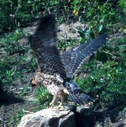 A Peregrine Falcon spreads its wings for flight. Photo credit: US Fish and Wildlife Service