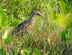 American Bittern; copyright Berlin Heck Cour-USDA Forest Service