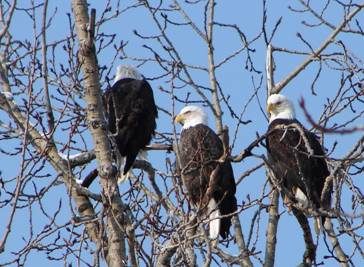 Eagles in a tree.