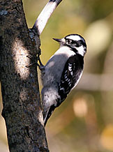 Downy woodpecker; copyright USFS