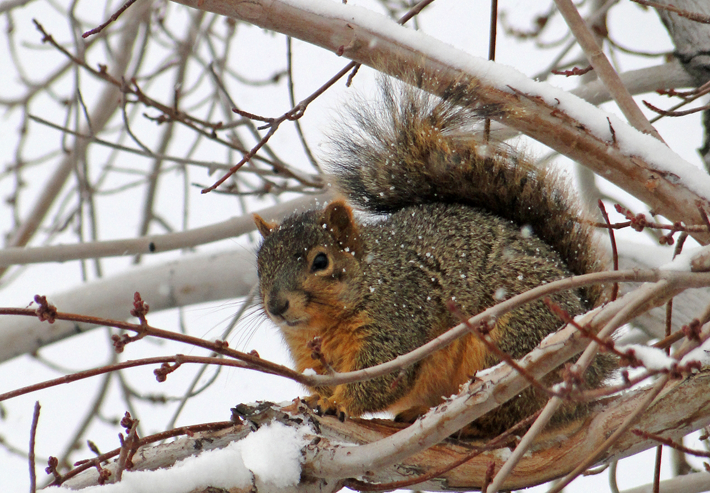 Fox Squirrel in snowy tree by Wayne Lewis.