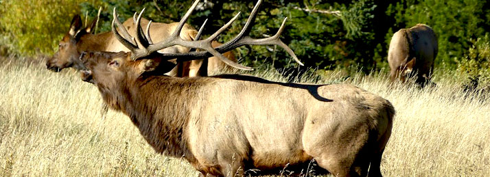 Bull elk bugling in fall field