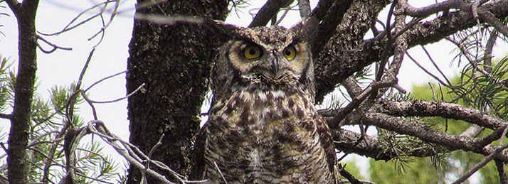 Great-horned owl at Ridgway State Park
