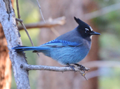 Stellar's Jay, photo by Wayne Lewis.