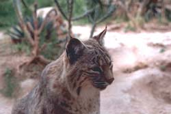 A bobcat. Similar to a mountain lion, but note the differences. Photo courtesy of the USFWS.