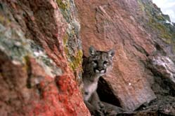 Photo above: A mountain lion peering from behind a boulder. What is the most obvious difference in the faces of mountain lions and lynx? Or a bobcat? (Photo courtesy of the USFWS.)