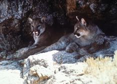 Colorado Parks & Wildlife - Lion Country: Part 2