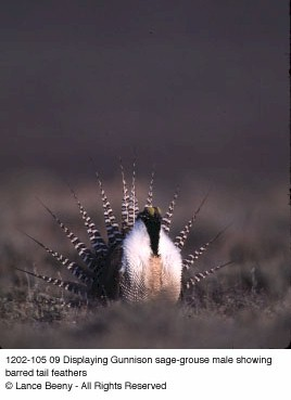 Displaying Gunnison sage-grouse male showing barred tail feathers. Copyright Lance Beeny.