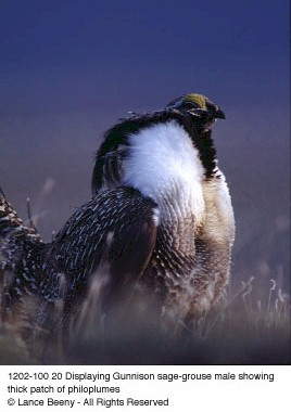 Displaying Gunnison sage-grouse male showing think patch of philoplumes. Copyright Lance Beeny.