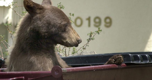 Bear in a Dumpster