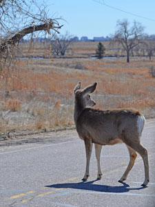 mule deer doe standing in highway