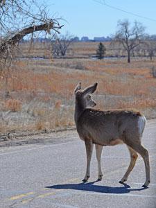 Colorado Parks & Wildlife - Avoid Wildlife Collisions