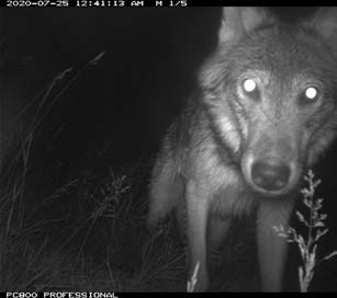 A game camera photo of a Gray Wolf taken in July 2020.