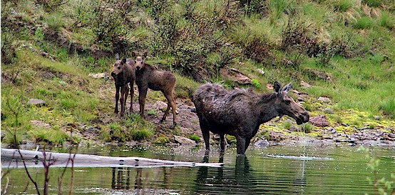 Moose cow and twin calves
