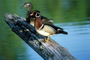 Wood duck pair standing on log. Credit USFWS.