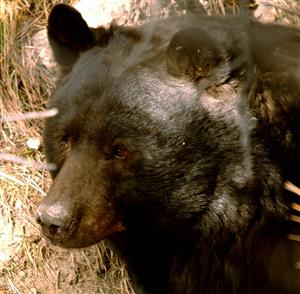 Colorado bears come in a variety of colors, but they are all members of the same species,  North American Black Bear.