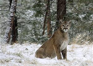 A mountain lion in a snow storm in Teller County. By Kevin Russell.