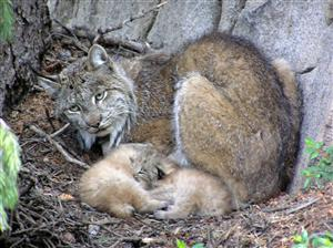 A Lynx Mother Protecting Her Young