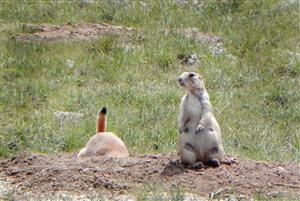 Black-tailed Prairie Dog in Eastern Colorado. Photo by M. Seraphin, CPW.