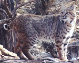 Bobcat in shrublands habitat, credit Robin Olterman