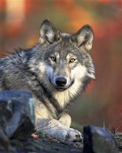 Grey wolf. Photo courtesy of the U.S. Fish and Wildlife Service.
