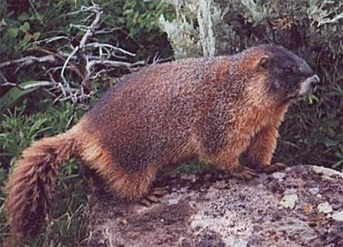 Colorado Parks & Wildlife - Wolverine Identification Guide