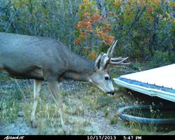 Mule deer at guzzler