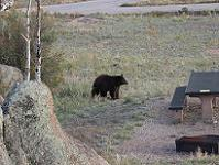 Black bear near a campsite