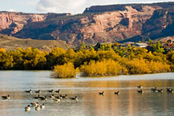 Ducks on the Colorado River
