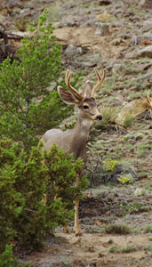 Mule Deer. Image courtesy of Jonathan D Kelly.