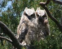 Baby great-horned owls at Dakota Terraces