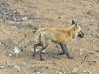 Red fox carrying prey