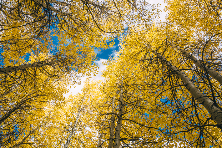 Golden Aspen leaves at State Forest State Park