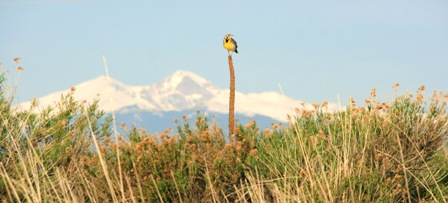 Meadow Lark Perched on a Plant