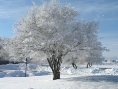 Boyd Tree winter.JPG